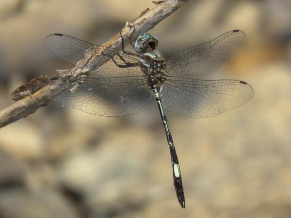 News: Slender Clubskimmer, <em>Brechmorhoga praecox</em>, in Pima Co, AZ: New species for the state