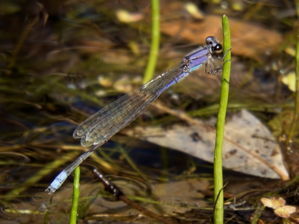 News: Second Arizona record of Neotropical Bluet, <em>Enallagma novaehispaniae</em>