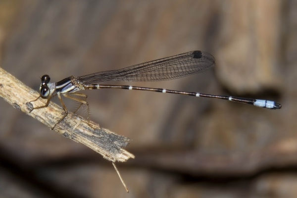 News: Desert Shadowdamsel, <em>Palaemnema domina</em>, in Greenlee Co., AZ: new early flying date for the state