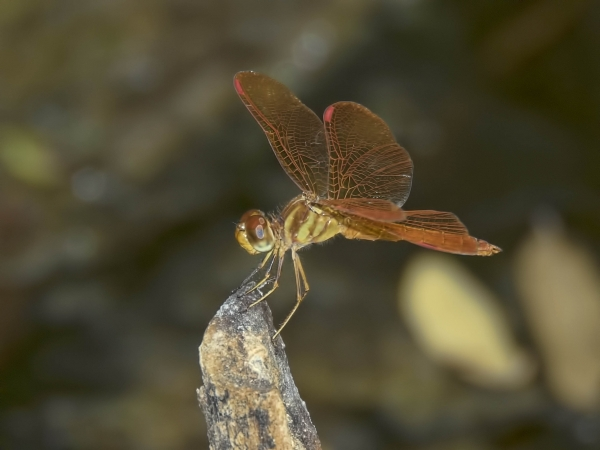 News: Slough Amberwing, <em>Perithemis domitia</em>, at Kelvin Bridge, Pinal, AZ: Second county record