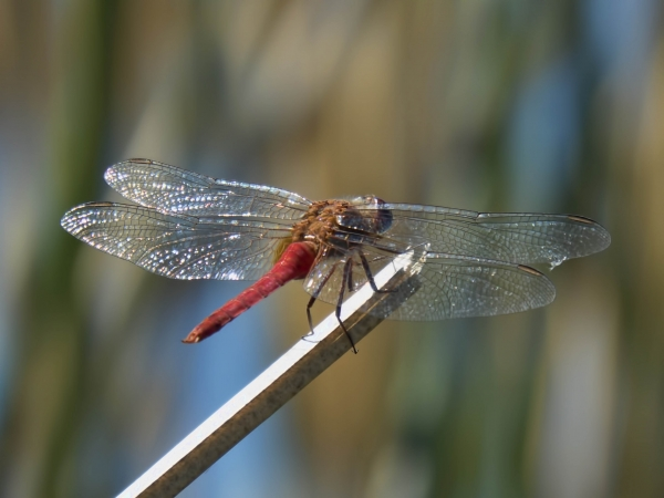 News: Red-tailed Pennant, <em>Brachymesia furcata</em>, in Maricopa Co., AZ: new early flying date for the state