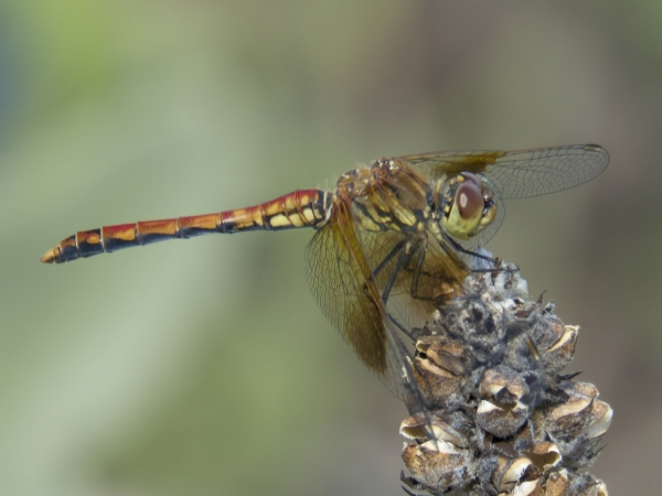 News: Band-winged Meadowhawk, <em>Sympetrum semicinctum</em>, in Gila Co., AZ: new early flying date for the state