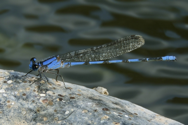 News: Harkness's Dancer, <em>Argia harknessi</em>, in Greenlee Co., AZ: Fifth US record.