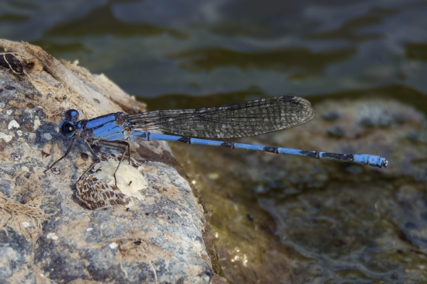 News: Harkness' Dancer, <em>Argia harknessi</em>, in Greenlee Co., AZ: Fifth US record.