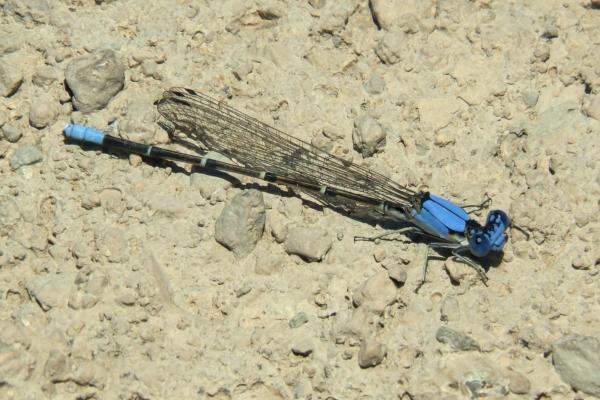 News: Blue-fronted Dancer, <em>Argia apicalis</em>, in Safford, Graham Co.