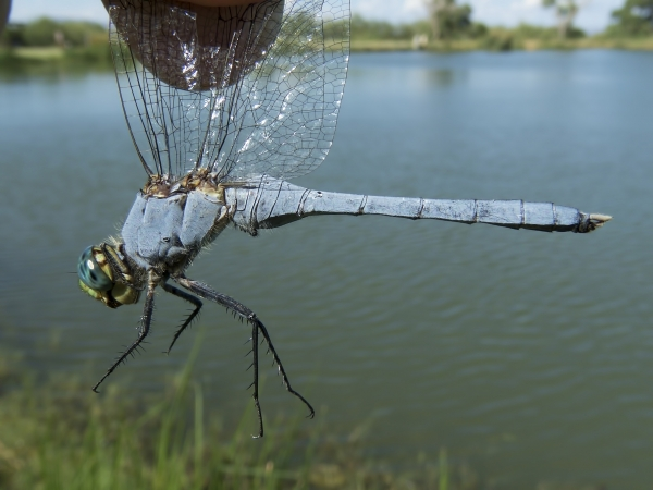 News: Eastern Pondhawk, <em>Erythemis simplicollis</em>, in Safford, Graham Co.
