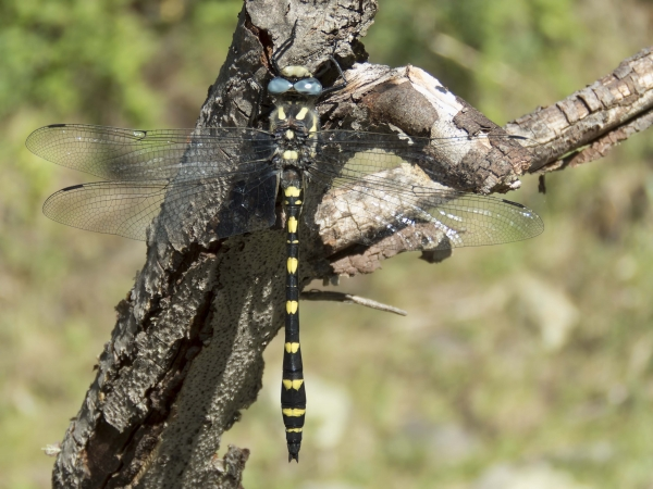 News: Pacific Spiketail, <em>Cordulegaster dorsalis</em>, in Apache Co.: New early flying date of species in Arizona