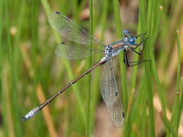 News: Emerald Spreadwing, <em>Lestes dryas</em>, in Apache Co., AZ: new late flying date for the state