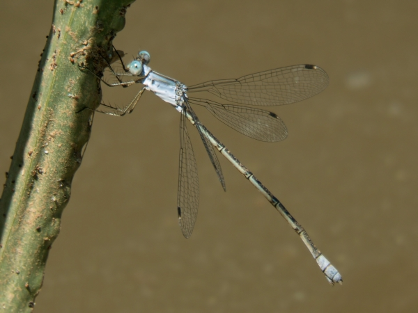 News: Chalky Spreadwing, <em>Lestes sigma</em>, in Pima Co., AZ: third state record