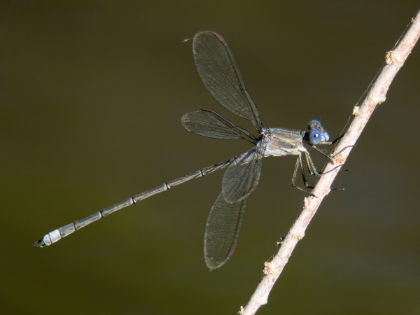 News: California Spreadwing, <em>Archilestes californicus</em>: Northernmost record to date for Arizona