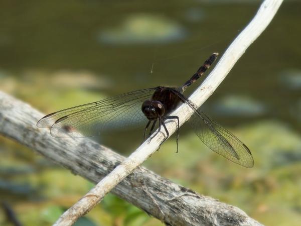 News: Pin-tailed Pondhawk, <em>Erythemis plebeja</em>, at Rio Salado (Maricopa, AZ)
