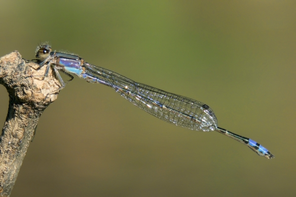 News: Neotropical Bluet, <em>Enallagma novaehispaniae</em>, in Pinal Co.: Northernmost record of species to date.