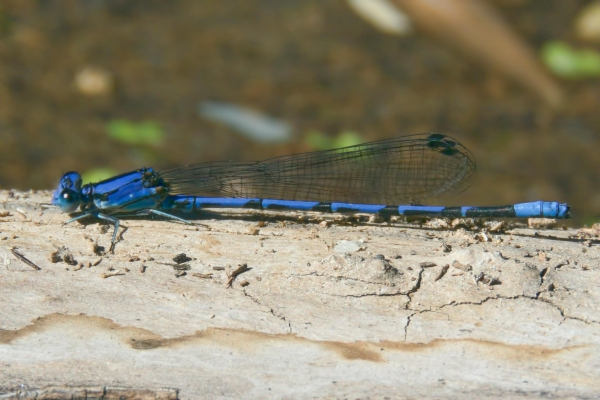 News: Spine-tipped Dancer, <em>Argia extranea</em>, in Pinal Co, AZ: Second northernmost record for Arizona
