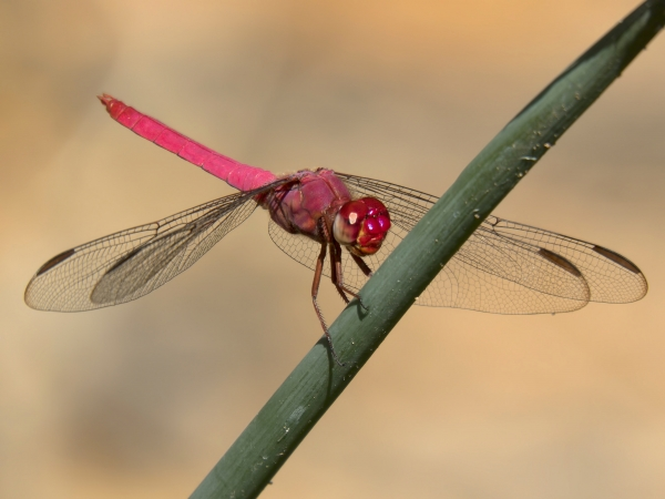 News: Carmine Skimmer, <em>Orthemis discolor</em>, in Maricopa Co., AZ: Fifth state record.