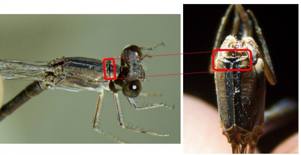 News: Aztec Dancer, <em>Argia nahuana</em>, in Pinal Co., Arizona: New late flying date for the state.