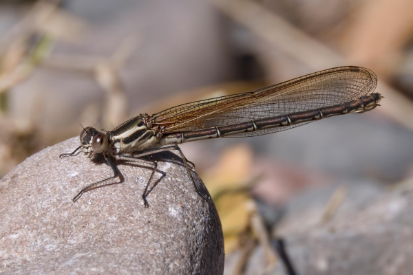 News: American Rubyspot, <em>Hetaerina americana</em>, in Maricopa Co., AZ: New late flying date for species in the state