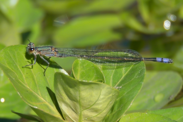 News: Neotropical Bluet, <em>Enallagma novaehispaniae</em>, in Maricopa Co.: New late flying date