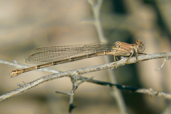 News: Powdered Dancer, <em>Argia moesta</em>, in Maricopa Co., Arizona: New late flying date for the state