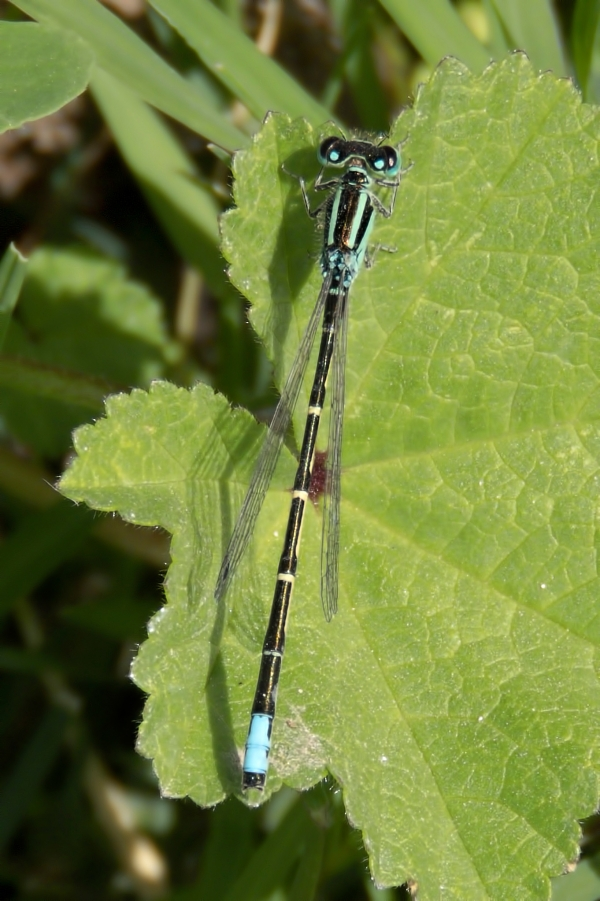 News: Mexican Forktail, <em>Ischnura demorsa</em>, in Pinal Co., Arizona: New early flying date for the state