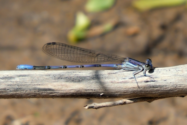 News: Lavender Dancer, <em>Argia hinei</em>, in Maricopa Co., Arizona: New early flying date for the state