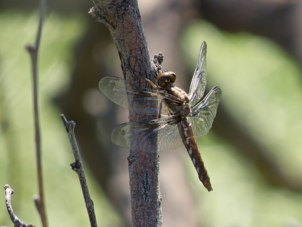 News: Common Whitetail, <em>Plathemis lydia</em>, in Pinal Co., Arizona: New early flying date for the state