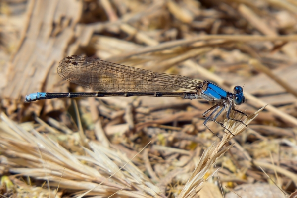 News: Blue-fronted Dancer, <em>Argia apicalis</em>, in Graham and Gila Co., Arizona: New early flying date for the state