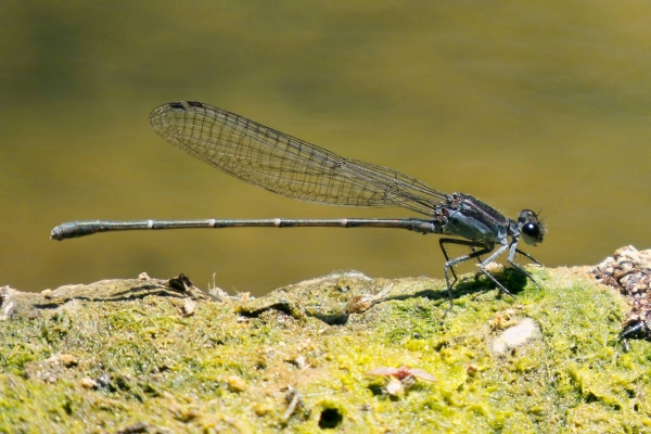 News: Tezpi Dancer, <em>Argia tezpi</em>, in Gila Co., Arizona: First county record