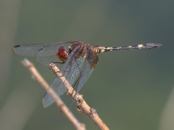 News: Westernmost US record of Checkered Setwing, <em>Dythemis fugax</em>