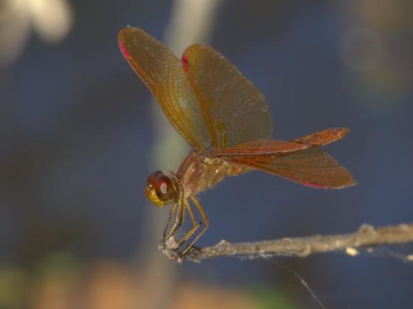 News: Slough Amberwing, <em>Perithemis domitia</em>, in Santa Cruz Co: New late flying date for Arizona