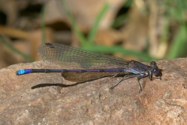News: Variable Dancer, <em>Argia fumipennis</em>, in Santa Cruz Co.: New late flying date for Arizona