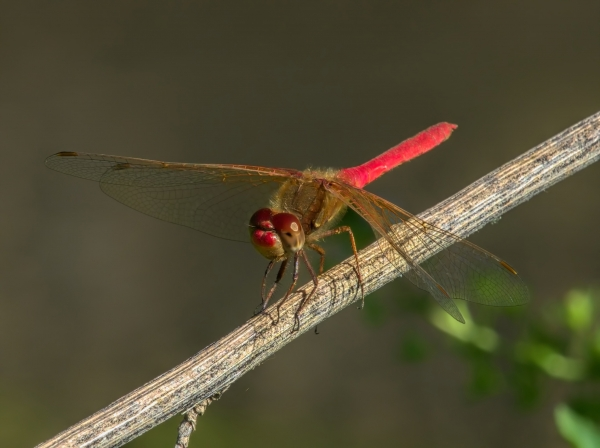 News: Cardinal Meadowhawk, <em>Sympetrum illotum</em>, in Pinal Co.: New late flying date for Arizona