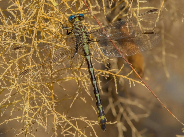 News: Russet-tipped Clubtail, <em>Stylurus plagiatus</em>, in Pinal Co.: New late flying date for Arizona