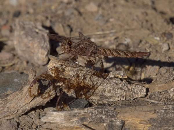 News: Filigree Skimmer, <em>Pseudoleon superbus</em>, in Maricopa Co.: New late flying date for species in Arizona