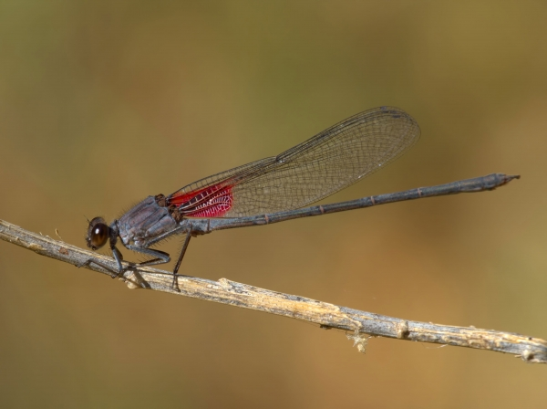 News: American Rubyspot, <em>Hetaerina americana</em>, in Maricopa Co.: New late flying date for Arizona