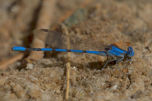 News: California Dancer, <em>Argia agrioides</em>, in Maricopa Co.: New late flying date for Arizona