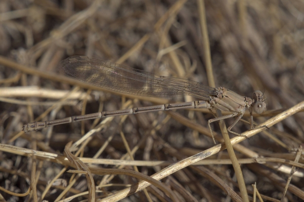 News: Powdered Dancer, <em>Argia moesta</em>, in Maricopa Co.: New early flying date for species in Arizona
