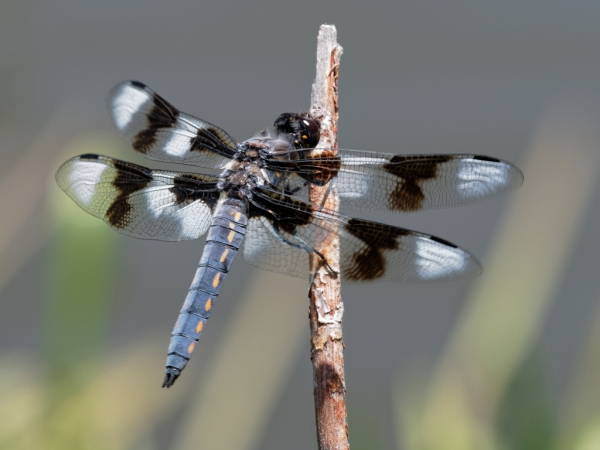 News: Eight-spotted Skimmer, <em>Libellula forensis</em>, in Apache Co.: New early flying date for species in Arizona