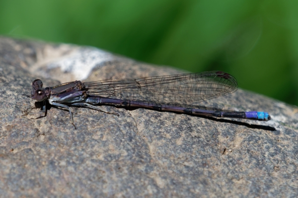 News: Westernmost record of Variable Dancer, <em>Argia fumipennis</em>