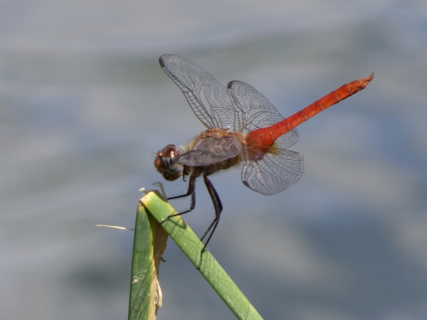 News: Red-tailed Pennant, <em>Brachymesia furcata</em>, in Yavapai Co.: First county record and northernmost state location