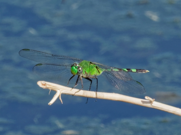 News: Great Pondhawk, <em>Erythemis vesiculosa</em>, in Maricopa Co.