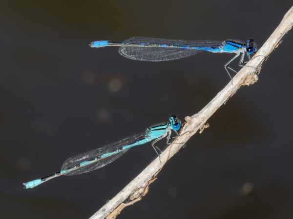 News: Baja Bluet, <em>Enallagma eiseni</em>, in Pinal Co., AZ: northernmost record to date.