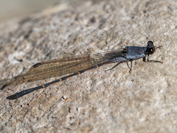 News: Sooty Dancer, <em>Argia lugens</em>, in Pinal Co.: New late flying date for Arizona