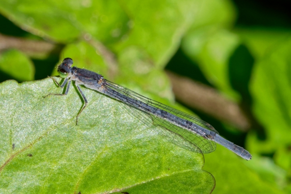 News: Mexican Forktail, <em>Ischnura demorsa</em>, in Pinal Co.: New late flying date for Arizona
