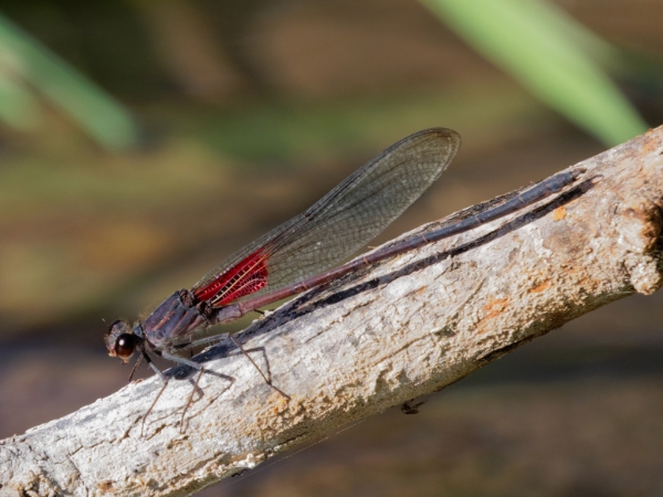 News: Canyon Rubyspot, <em>Hetaerina vulnerata</em>, in Pinal Co.: New late flying date for Arizona