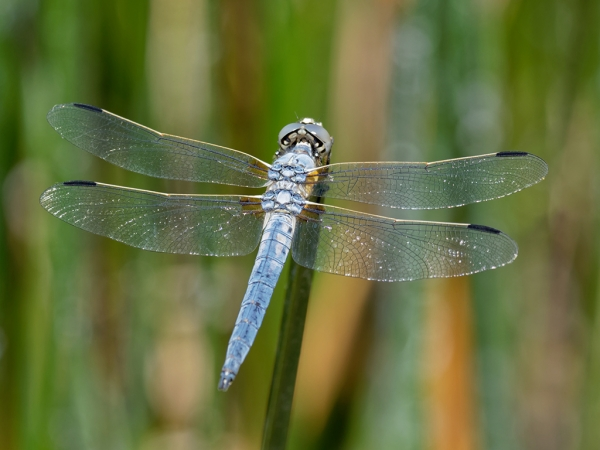 News: Bleached Skimmer, <em>Libellula composita</em>, at Quitobaquito Pond, Pima Co.: new location and early flying date for the state