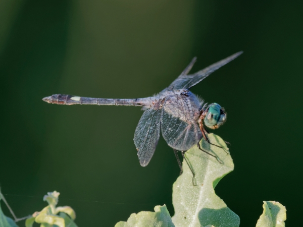 News: Spot-tailed Dasher, <em>Micrathyria aequalis</em>, in Maricopa Co.: New county record and northernmost location to date.