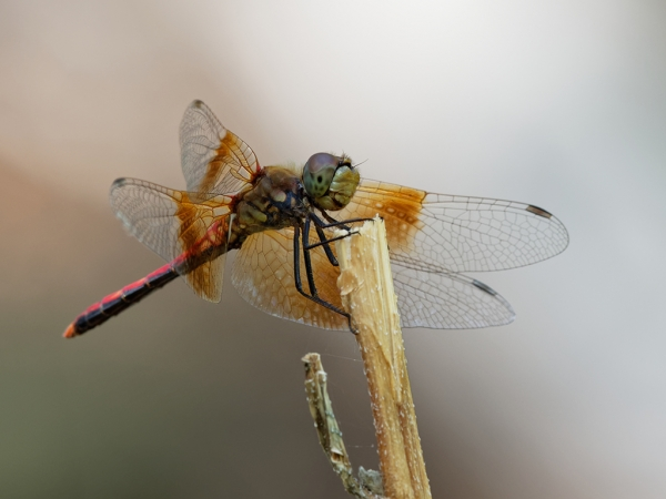 News: Band-winged Meadowhawk, <em>Sympetrum semicinctum</em>, in southern Yavapai Co.
