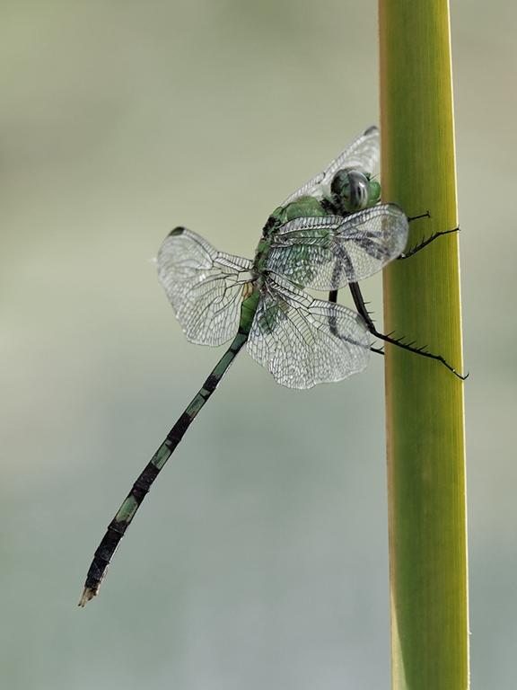 News: Great Pondhawk, <em>Erythemis vesiculosa</em>: New Pinal Co. location