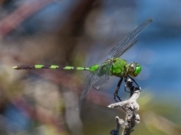 News: Great Pondhawk, <em>Erythemis vesiculosa</em>, at Wickenburg Secret Ponds, Maricopa