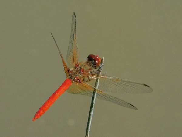 News: First record of Cardinal Meadowhawk, <em>Sympetrum illotum</em>, in Navajo Co.